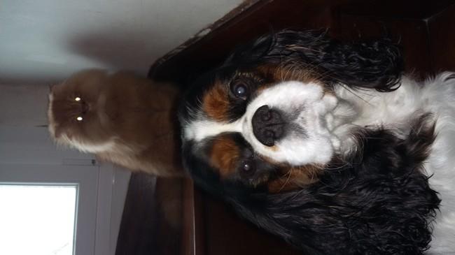 Guline, chien Cavalier King Charles Spaniel