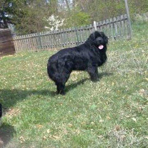 Cazanova, chien Terre-Neuve