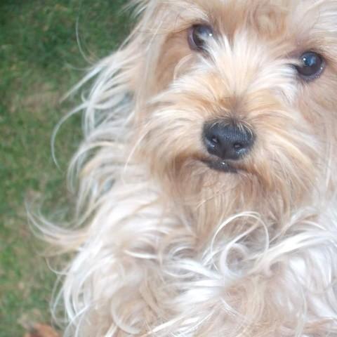 Cerise, chien Yorkshire Terrier
