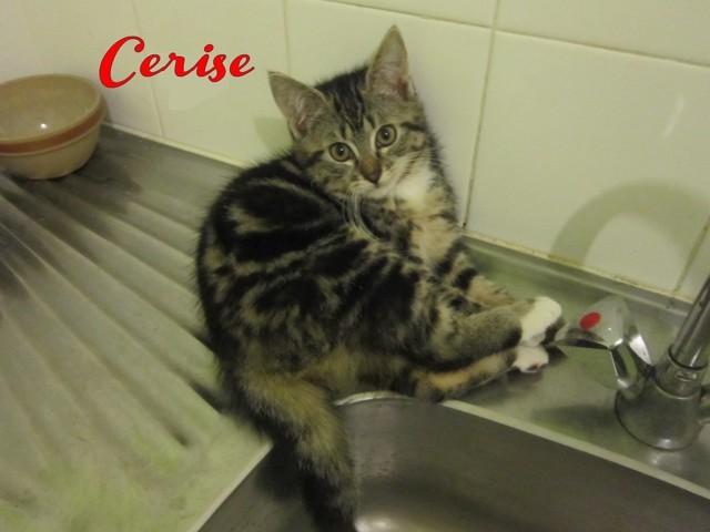 Cerise, chat Européen