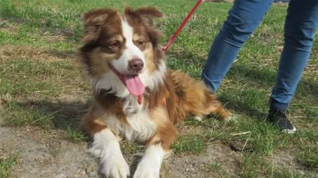 Chanelle, chien Berger australien