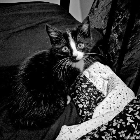 Charlie, chaton Européen