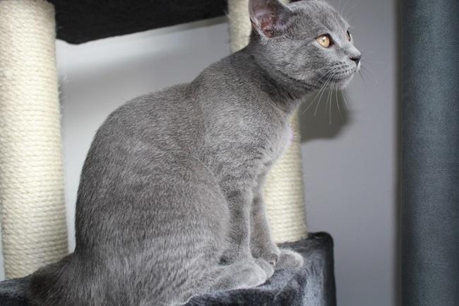 Hiro, chat Chartreux