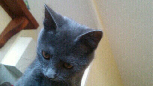 Juno, chat Korat