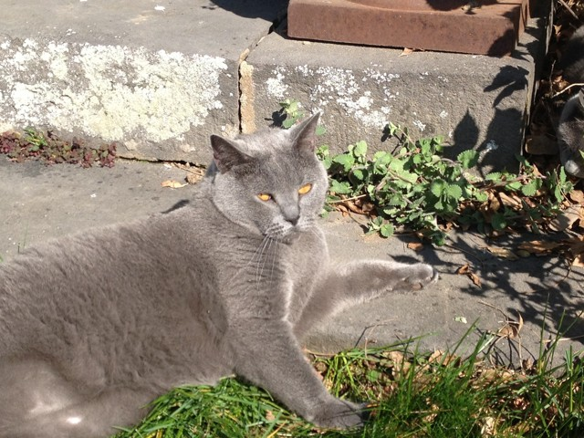 Faust, chat Chartreux