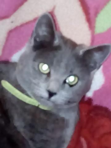 Lila, chat Chartreux