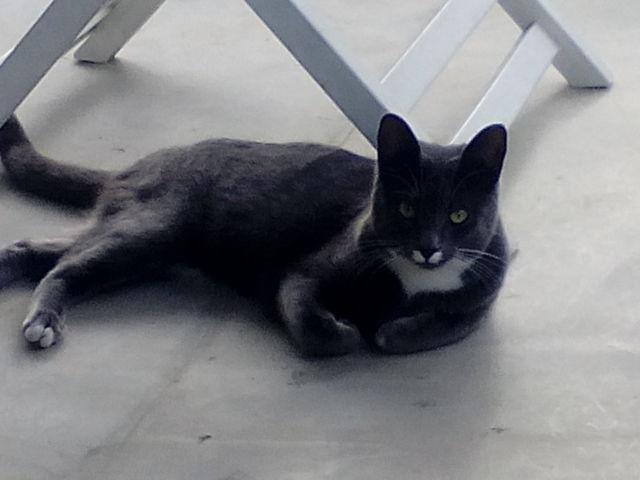 Kiwi, chat Chartreux