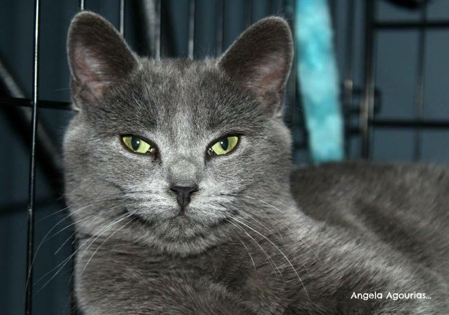 Marquise, chat Bleu russe