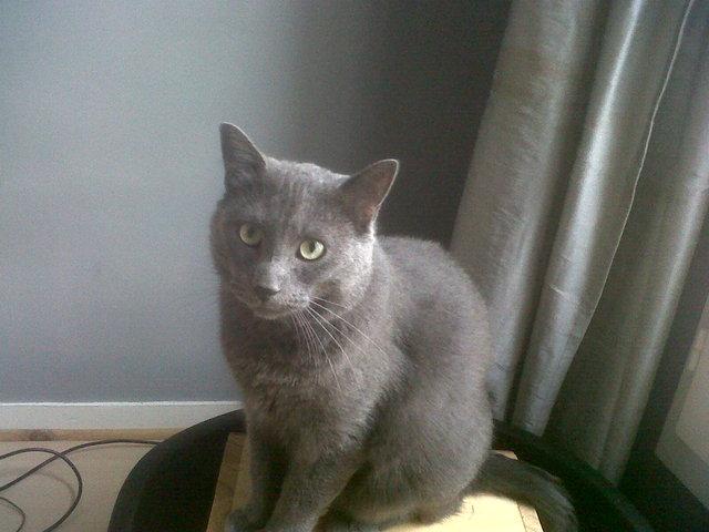 Hézeckey, chat Korat