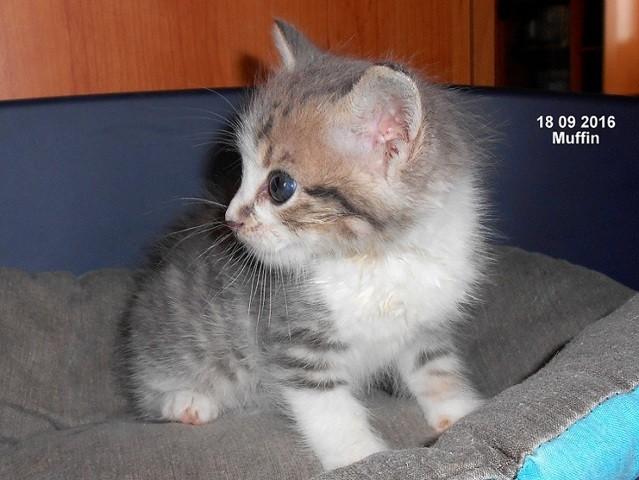 Muffin, chaton