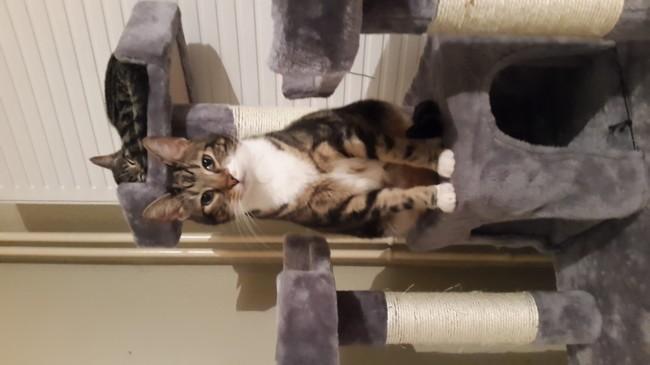 Baxter, chat Européen
