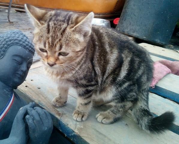 Pantalaimon, chaton