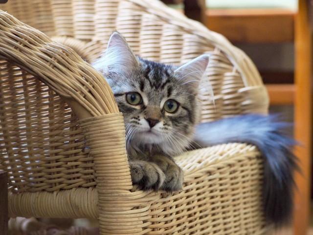 Chataigne, chaton Sibérien