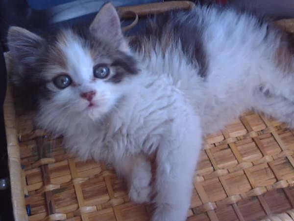 photo de chaton chat angora turc   125906   wamiz