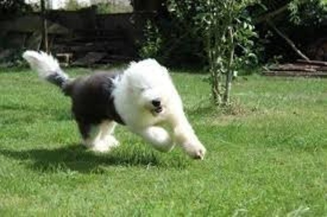 Chaussette, chien Bobtail