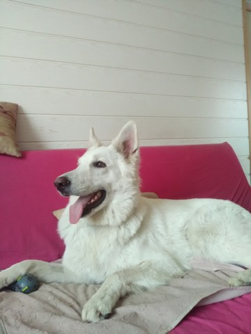 Cheerkhaan, chien Berger blanc suisse