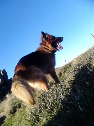 Chewbacca, chien Berger allemand