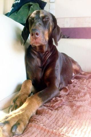 Cheyenne, chien Dobermann