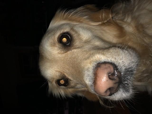 Cheyenne, chien Golden Retriever
