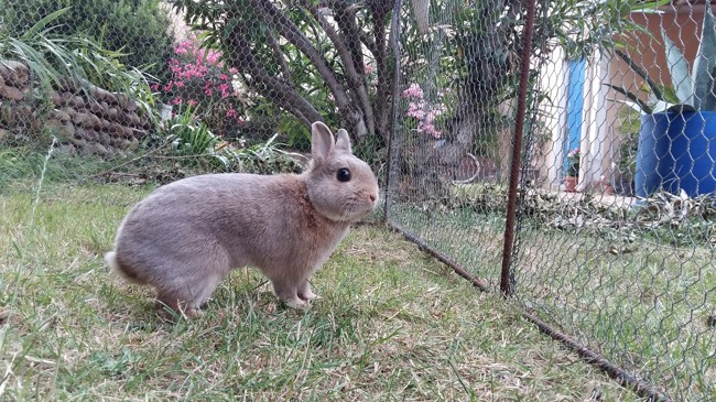 Chico, rongeur Lapin