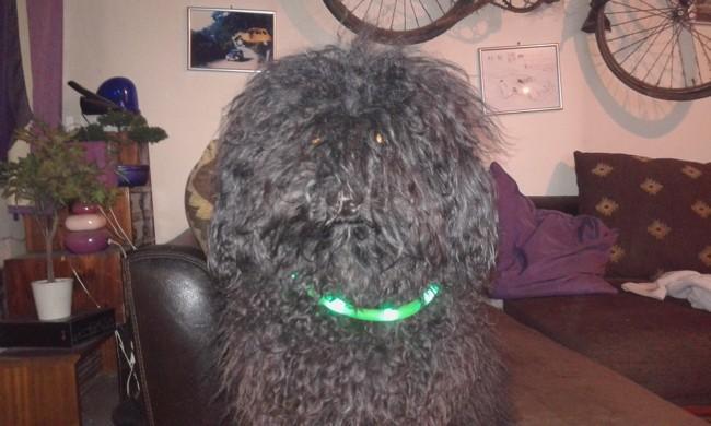 Marley, chien