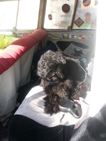 Marley, chien Puli