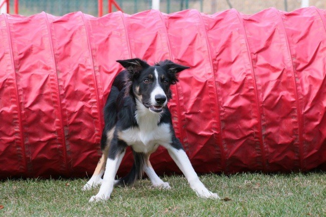 Michigan, chiot Border Collie