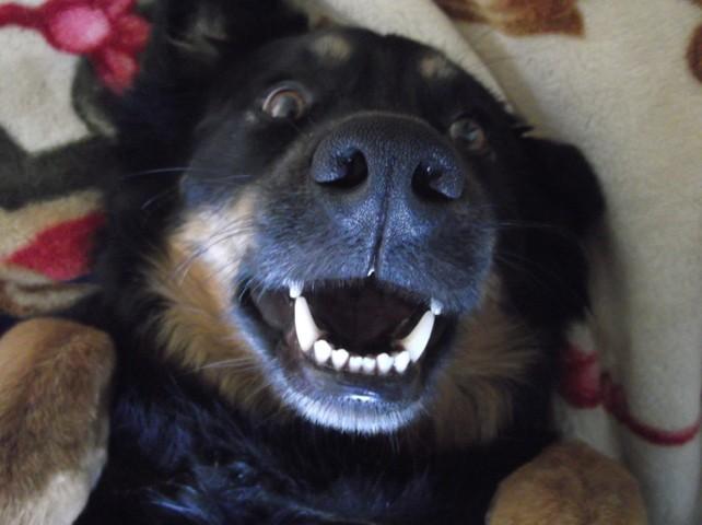 Bratz, chien