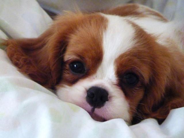 Lancelot, chien