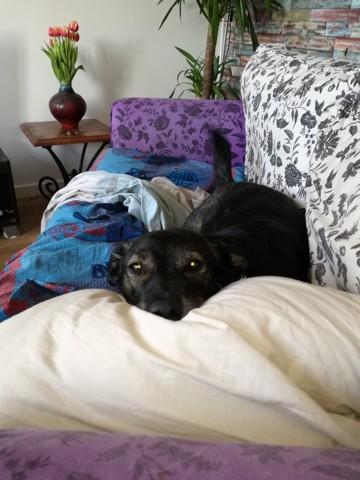 Jack, chien