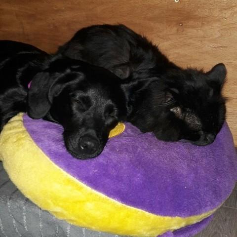 Thaia, chien Berger de Bergame