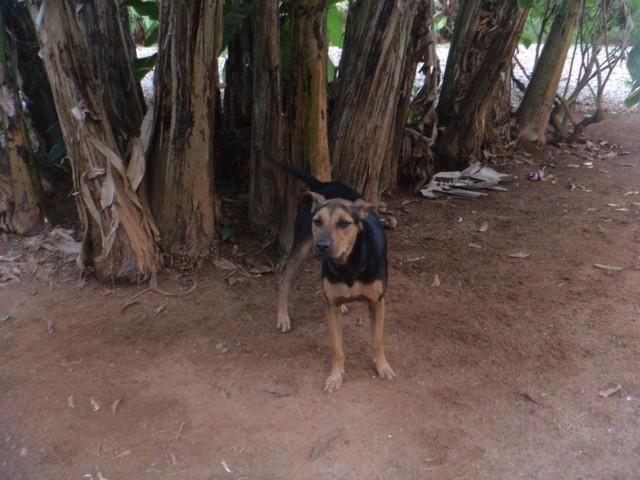 Timan, chien