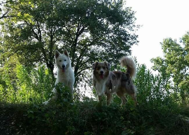 Moka, chien Berger australien