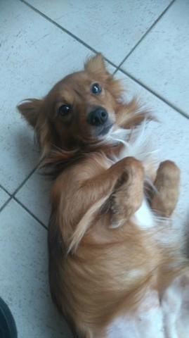 Kitsu, chien