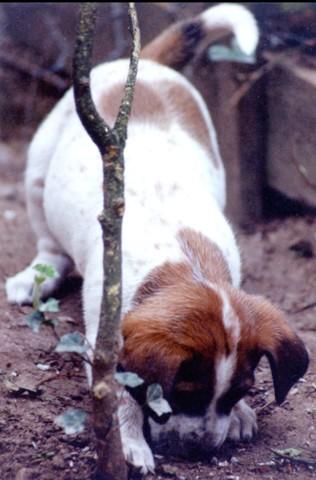Chouia, chien