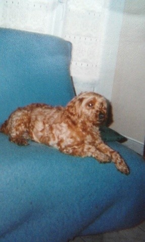 Chipie Dcd, chien