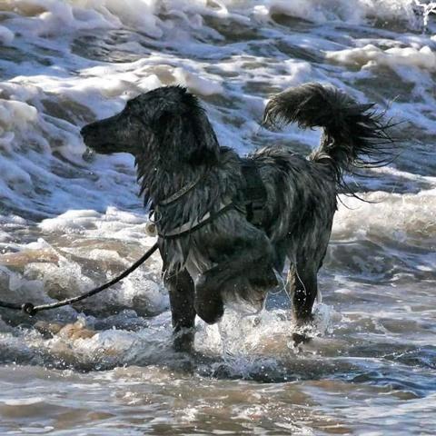 Matcha, chien
