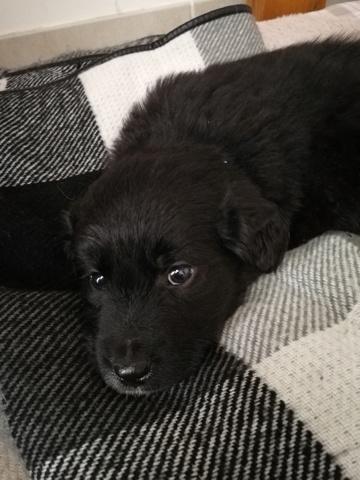 Odin, chiot