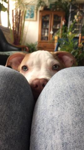 Oslo, chiot American Staffordshire Terrier
