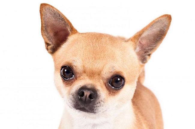 Chispa, chien