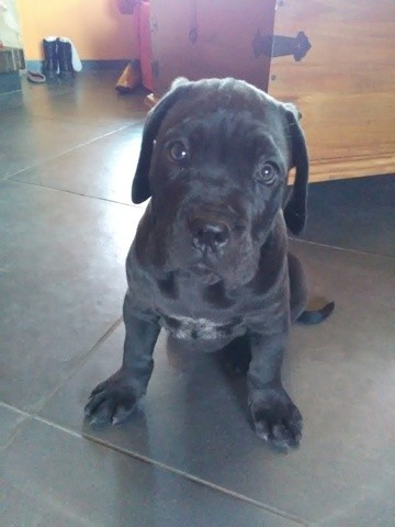 Potter, chien Cane Corso