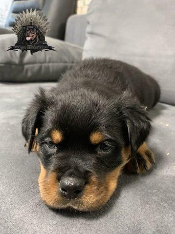 Ripley, chiot