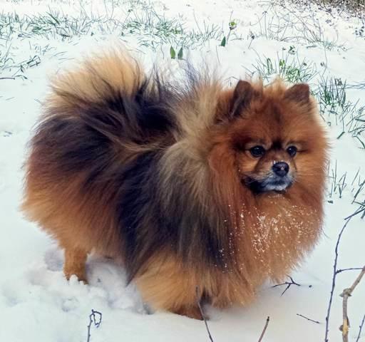 Lenox, chien