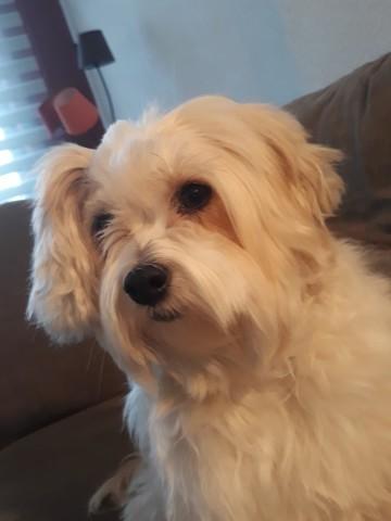 Maxie, chien Chien chinois à crête