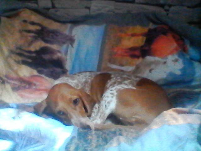 Diana, chiot Chien courant suisse