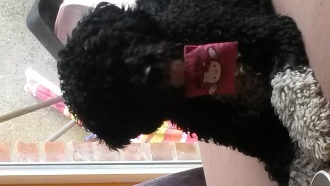 Yoshi, chien Chien d'eau espagnol