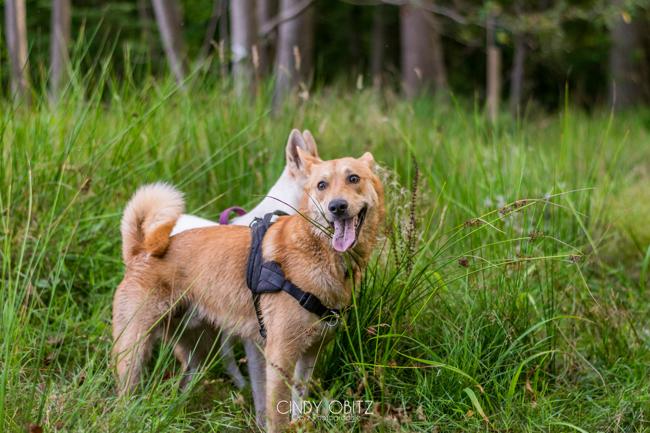 Lachan, chien Chien de Canaan
