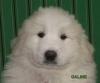Galine, chien Chien de montagne des Pyrénées