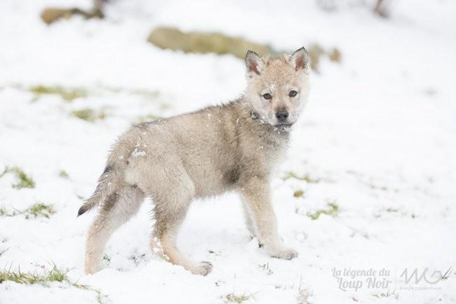 Nymeria, chien Chien-loup tchèque