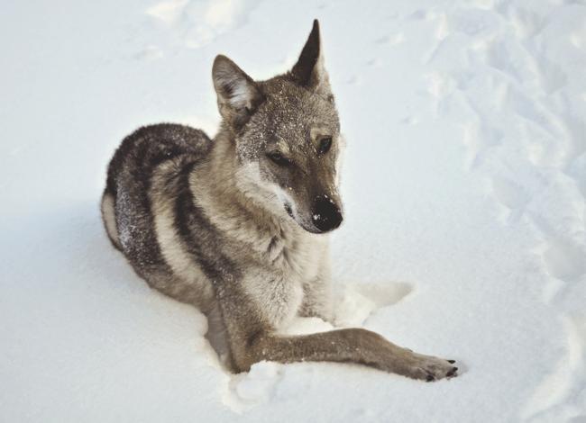 H'Slevin, chien Chien-loup tchèque